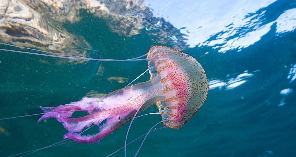 Mauve Stinger Jellyfish, Pelagia noctiluca, Cap de Creus, Costa ...